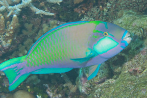 Parrotfish (picture from https://phishdoc.com/2015/09/14/parrotfish-i/)